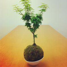 my maple kokedama | Yelp