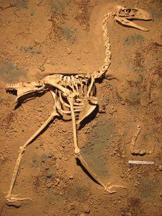 The skeleton of the new species of terror bird (Llallawavis scagliai) on display at the Museo Municipal de Ciencias Naturales Lorenzo Scaglia in Mar del Plata, Argentina.
