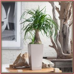 (paid link) View our range of pet friendly houseplants. every are safe on the subject of nibbling cats and dogs! 30 day happiness warranty and next/selected hours of daylight delivery available. #catsafehouseplants