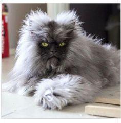 True grumpy cat