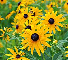 "Rudbeckia Goldsturm  Common Name: Coneflower  Hardiness Zone:  4-8 S / 4-10 W  Height: 30""+  Exposure: Full Sun  Blooms In: July-Oct  Spacing: 18-24"""