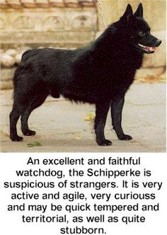 Schipperke. --No wonder I love having a Schipperke, we are so similar.