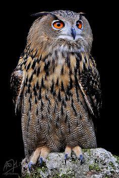 Buho Real Owl
