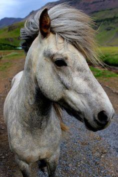 "myworldview-photography: ""Icelandic Pony"" Iceland"