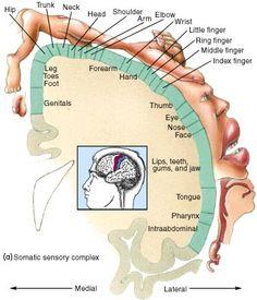 Topography of the Somatic Sensory Cortex