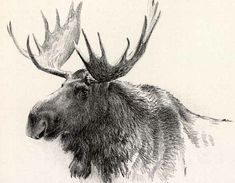 magnificent moose |