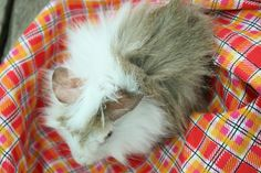 How to Tell if Your Guinea Pig Is Pregnant -- via wikiHow.com