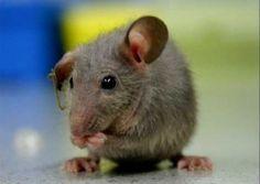 Got mice?  Humane ways to deter them!!