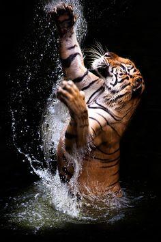 Tiger in Water by Ivan Lee