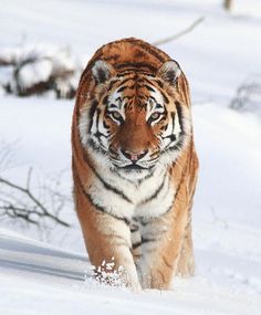 Snow Tiger Photo by ©Arron Barnes #WildlifePlanet