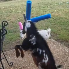 Battle of the pool noodles 😊 - - Battle of the pool noodles 😊 Funny animals Ziege # Lustige Ziege # Foru # Ziegenliebhaber # Petlover # Animallover Funny Animal Memes, Funny Animal Videos, Cute Funny Animals, Funny Animal Pictures, Cute Baby Animals, Animals And Pets, Funny Cats, Dog Videos, Dog Memes