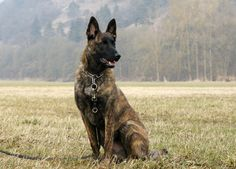 Belgian Malinois - perfect color