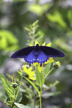 Stovepipe Swallowtail by Rob Travis