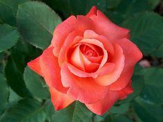 ~Best smelling rose ever!! Called Brigadoon!