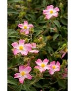 Grayswood Pink Rock Rose (Cistus 'Grayswood Pink')
