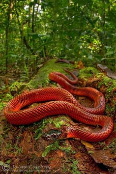 [PHOTO] Rainforest is a colourful world. This time represented by the Tschudi's False Coral Snake (Oxyrhopus melanogenys). Photo by: Tropical Herping hey beautiful! Pretty Snakes, Cool Snakes, Colorful Snakes, Beautiful Snakes, Anaconda Verde, Les Reptiles, Reptiles And Amphibians, Beautiful Creatures, Animals Beautiful