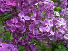 Lilac Pocohantas--another great purple!!