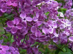 Lilac Pocohantas--another great purple!!
