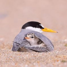 Arctic Tern with young. Saw these nesting in Rose Park area in Salt Lake City, U. Arctic Tern with Pretty Birds, Beautiful Birds, Animals Beautiful, Cute Birds, Nature Animals, Animals And Pets, Wildlife Nature, Cute Baby Animals, Funny Animals