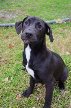 Mercia (88271)Mercia is a young Lab mix looking for her forever home. She is approximately 5 to 6 months old (Jan 3rd). She is fun loving, good with other dogs, and loves to play.This is one of the many dogs housed at the animal shelter if you would...