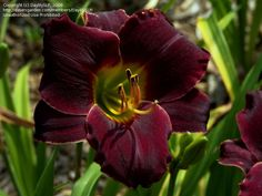 Daylily 'Night Wings'   Just love the rich black red intenseness of this flower, 5 inch bloom.