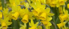 Tete a Tete. Have these all over! Very hardy and great for picking.