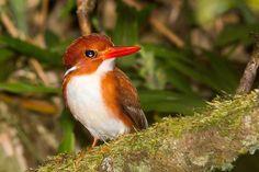 Corythornis madagascariensis - Madagascar pygmy kingfisher