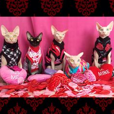 (L to R) Rumple, Princess, Mr. Biggles, Pinky, and Tater Tot dressed in their Sphynx Nudie Patootie Valentine fleece/cotton/waffle shirts!