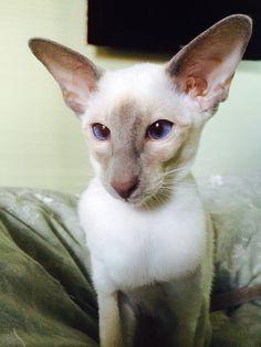 Wedge head Lilac point Siamese kitten.