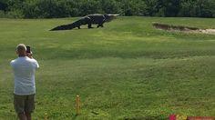 Aligator gigant filmat pe un teren de golf din Florida