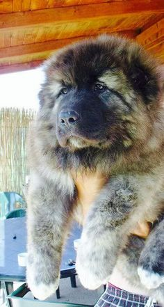 Caucasian mountain shepherd, I want himmmmm! Huge Dogs, Giant Dogs, I Love Dogs, Giant Dog Breeds, Pet Dogs, Dogs And Puppies, Dog Cat, Pets, Big Dogs