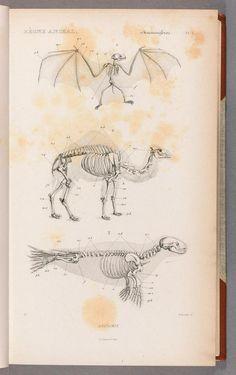 [v.1] Mammifères (atlas) - Le règne animal distribué d'après son organisation, - Biodiversity Heritage Library