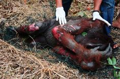 The truth of Palm Oil - So heart braking to see this :(