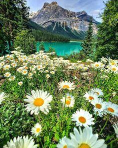 """Daisy Fields at Emerald Lake, Yoho National Park 🌼 🌼 🌼 Photo by Claudio Bezerra"" Yoho National Park, National Parks, National Forest, Wonderful Places, Beautiful Places, Beautiful Beautiful, Beautiful Scenery, Landscape Photography, Nature Photography"