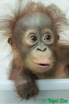 Orangutan youngster.