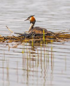Great Crested Grebe in the nest by Maurizio Di Renzo on Nest, Eggs, Birds, Animals, Collection, Nest Box, Animales, Animaux, Egg