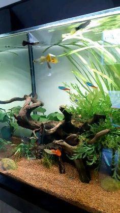 Aquarium Guppy, Goldfish Aquarium, Goldfish Tank, Aquarium Terrarium, Tropical Fish Aquarium, Tropical Fish Tanks, Saltwater Aquarium, Aquarium Fish Tank, Planted Aquarium