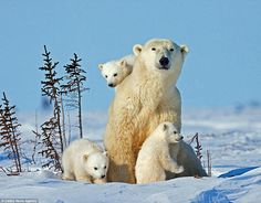 Wildlife photographer Thomas Kokta travelled from his home in Washington state to Manitoba, Canada to capture these stunning images of a pol... Polar Bears In Canada, Baby Polar Bears, Cute Polar Bear, Baby Pandas, Giant Pandas, Cute Baby Animals, Animals And Pets, Funny Animals, Wild Animals
