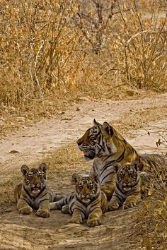 Momma Tiger with her Triplet Cubs on the forest tracks of Ranthambore Tiger Reserve Save The Tiger, Tiger Love, Serval, Beautiful Cats, Animals Beautiful, Beautiful Family, Lion Tigre, Baby Animals, Cute Animals