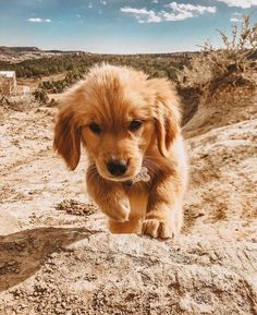 Discover The Trustworthy Golden Retriever Puppy And Kids Cute Little Animals, Cute Funny Animals, Cute Animal Pictures, Dog Pictures, Chien Golden Retriever, Funny Golden Retrievers, Cute Puppies Golden Retriever, Cute Dogs And Puppies, Doggies