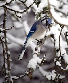 beautiful! blue jay in the snow - please feed me!