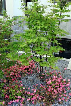 Acer Palmatum Osakazuki in summer