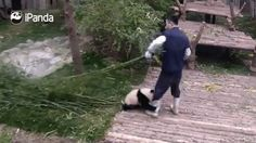 Le panda le plus collant au monde !