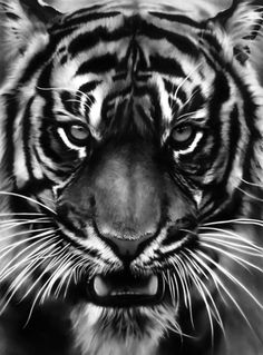 Robert Longo - Untitled (White Tiger). Charcoal on mounted paper, 94.5 x 70 inches (2011)