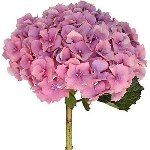 Hydrangea - Comes in magenta, hot pink, light pink, pure white... and can be tinted to match your colors