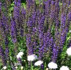 Salvia × sylvestris 'Mainacht' - sage  (syn. Salvia May Night)