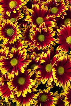 ✯ Red Yellow Daisies