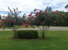 Day 179. (6/28). Crape Myrtle trees are looking good so far!