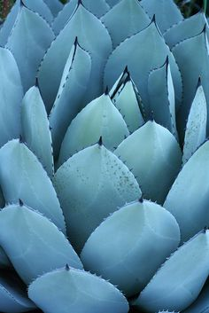 image by Maggie Mason via Flickr > the plant is one of the many agave species.