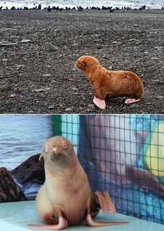 This is Nafanya, a rare ginger seal who was abandoned and then adopted by an aquarium in Russia.